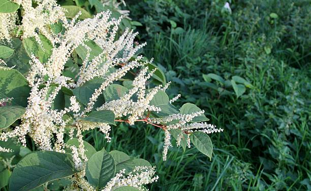 japanese knotweed flowering - japanese knotweed stock pictures, royalty-free photos & images
