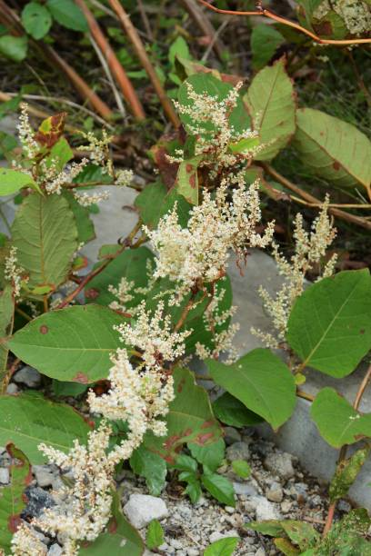 japanese knotweed flowers - japanese knotweed stock pictures, royalty-free photos & images