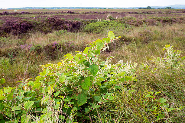 japanese knotweed in an irish bog - knotweed stock pictures, royalty-free photos & images