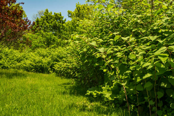japanese knotweed (reynoutria japonica) - japanese knotweed stock pictures, royalty-free photos & images