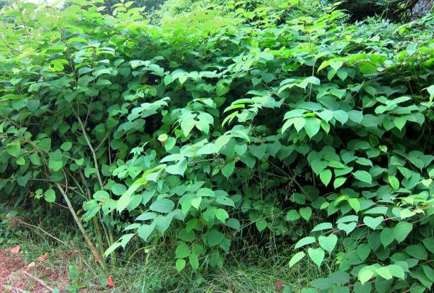 japanese knotweed - japanese knotweed stock pictures, royalty-free photos & images