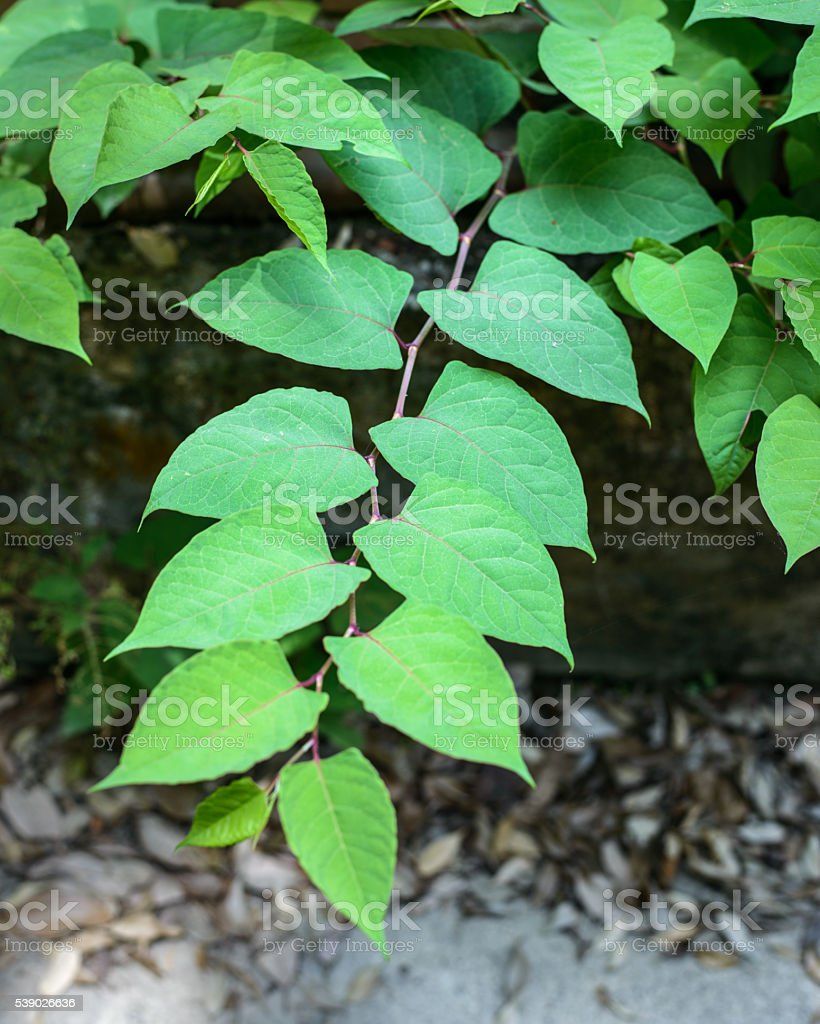 Japanese Knotweed stock photo