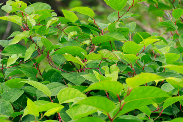 japanese knotweed - knotweed stock pictures, royalty-free photos & images