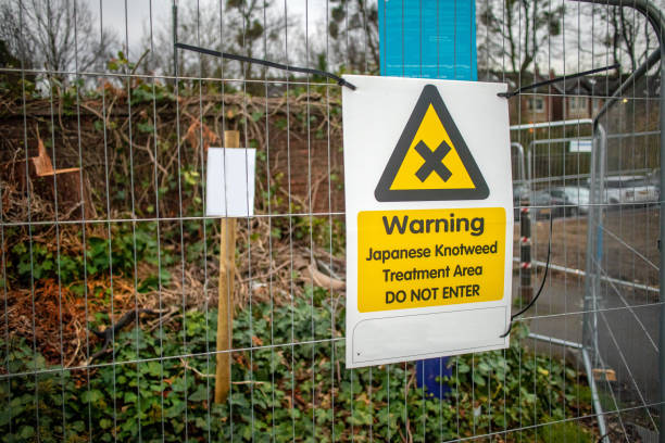 japanese knotweed warning sign indicating a treatment area and to avoid entering.  japanese knotweed is is classified as an invasive and destructive species in several countries. - japanese knotweed stock pictures, royalty-free photos & images