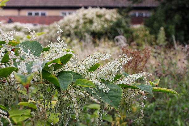 flowering plant invader japanese knotweed fallopia japonica - japanese knotweed stock pictures, royalty-free photos & images