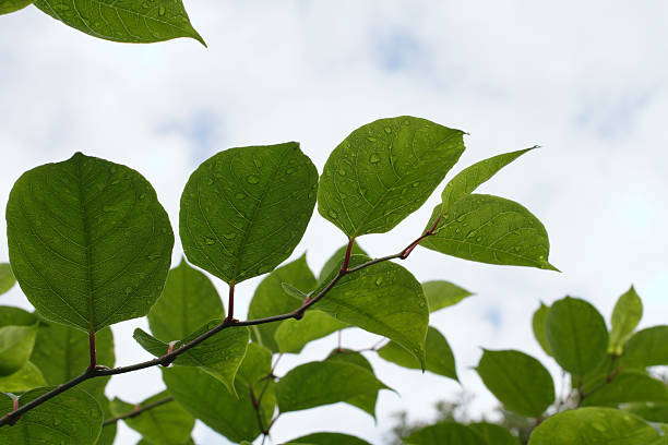 leaves of plant invader japanese knotweed fallopia japonica - japanese knotweed stock pictures, royalty-free photos & images