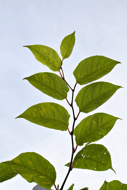 leaves of plant invader japanese knotweed fallopia japonica - knotweed stock pictures, royalty-free photos & images