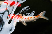 fish or Japanese koi fish in the water pool
