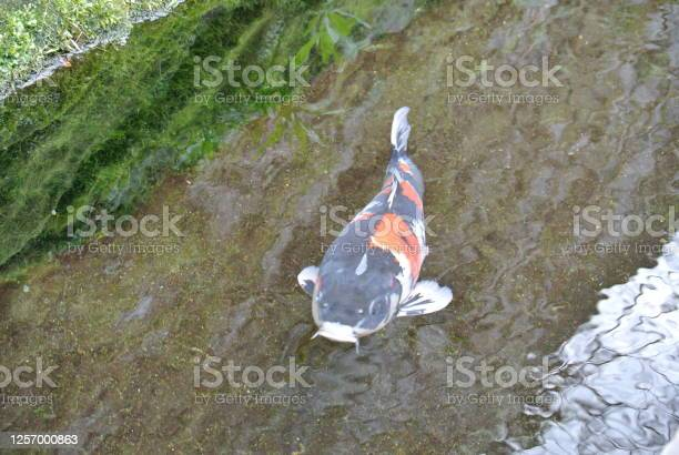 Japanese koi picture id1257000863?b=1&k=6&m=1257000863&s=612x612&h=ybofbcnq8s6siduymdzh31xbo ecunnrhm91q0s2rqe=