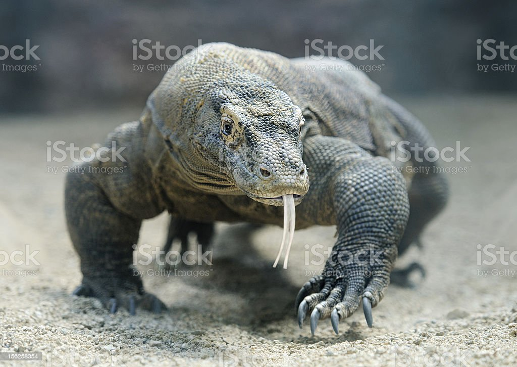 A Japanese Komodo dragon prowling in the sand stock photo
