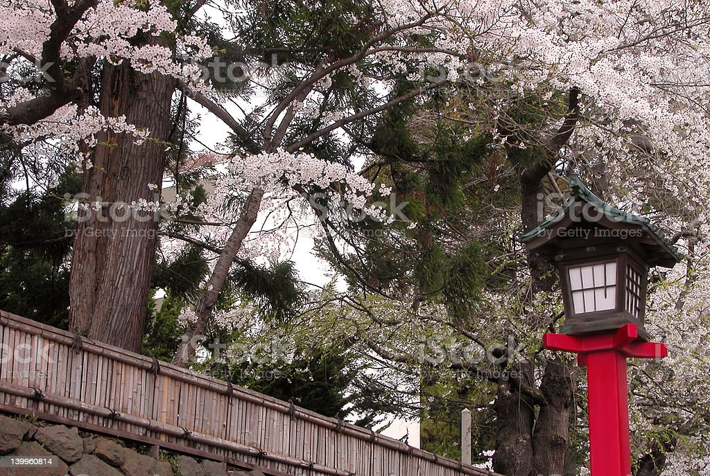Japanese lantern with cherry blossom trees blooming. royalty-free stock photo