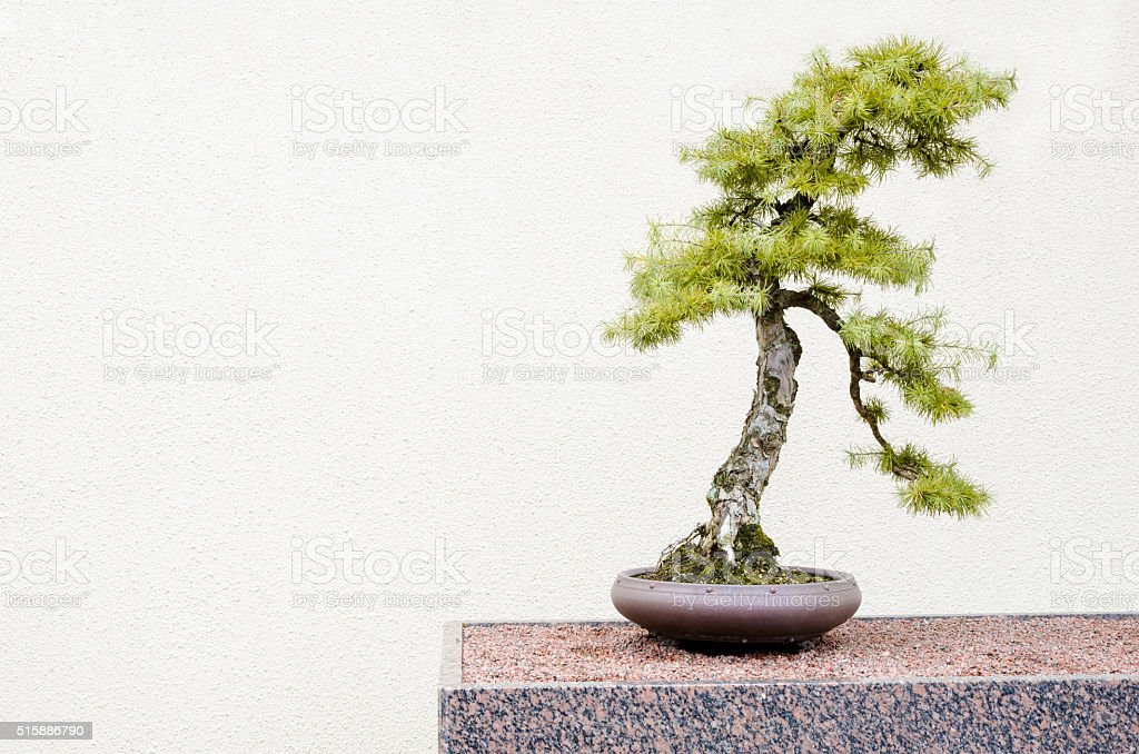Japanese Larch Bonsai Tree Stock Photo Download Image Now Istock