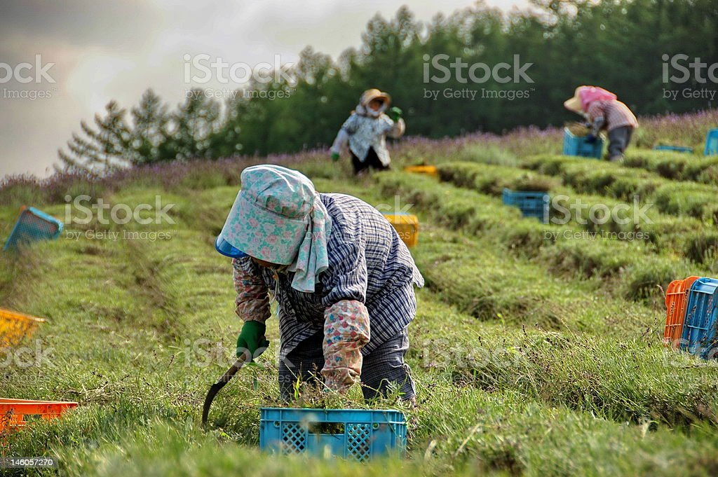 Japanese lavender farmers 2 stock photo