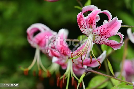 Japanese lilies (lilium speciosum) in bloom