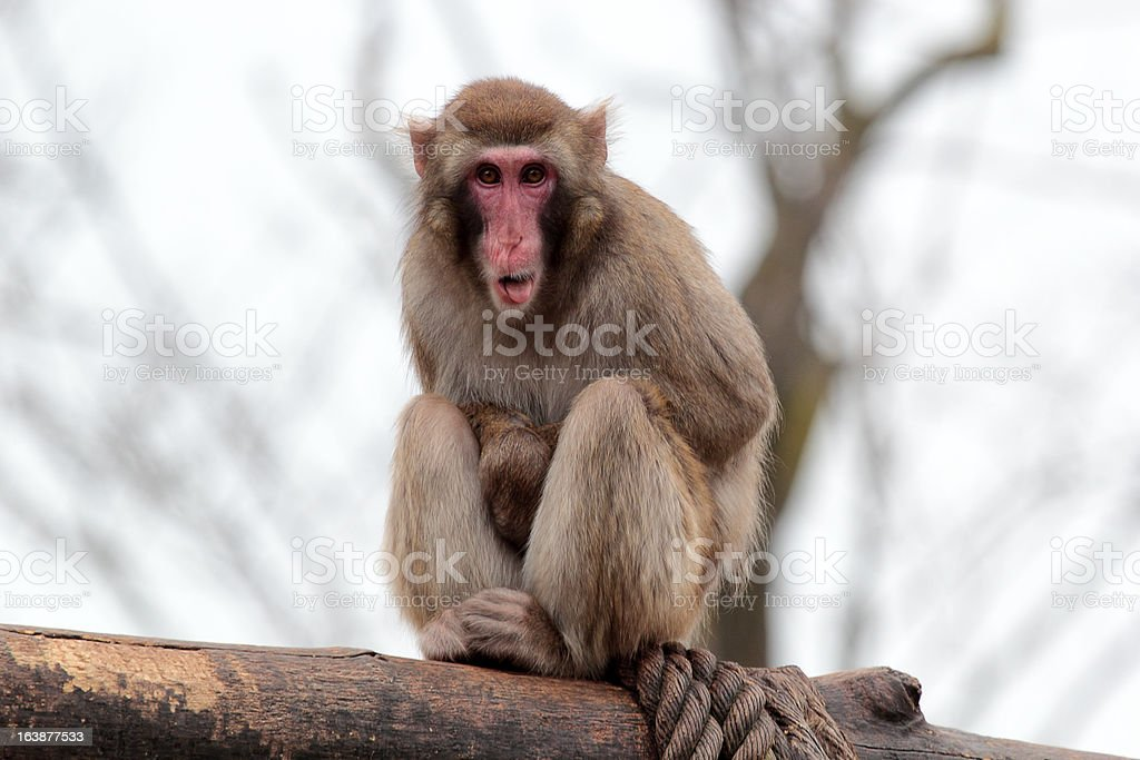 Japanese macaque grimaces with his tongue out royalty-free stock photo