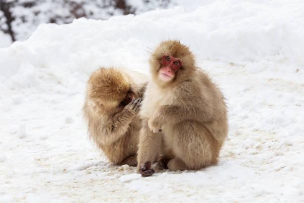 Japanische Makakenpflege auf verschneiter Straße – Foto
