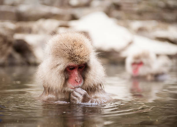 Japanese macaque in hot spring stock photo