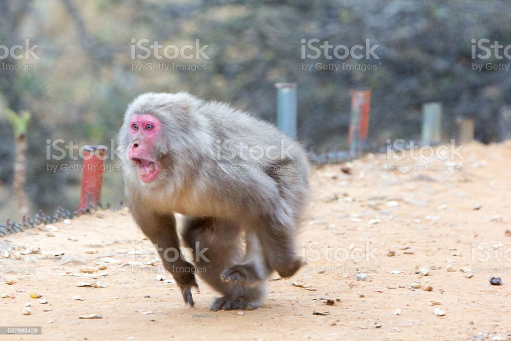 Japanese Macaque in Kyoto, Japan stock photo