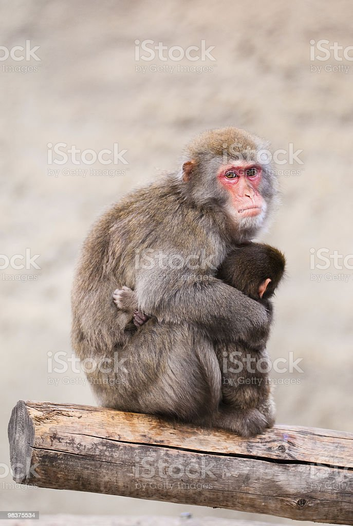 Japanese Macaque in Moscow zoo royalty-free stock photo