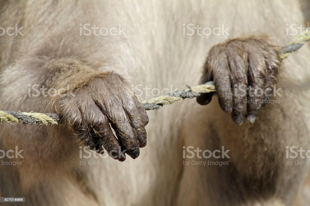 Japanese Macaque in national park stock photo