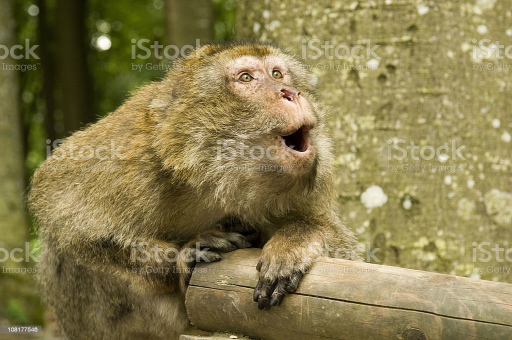 Japanese Macaque Monkey Looking Surprised stock photo