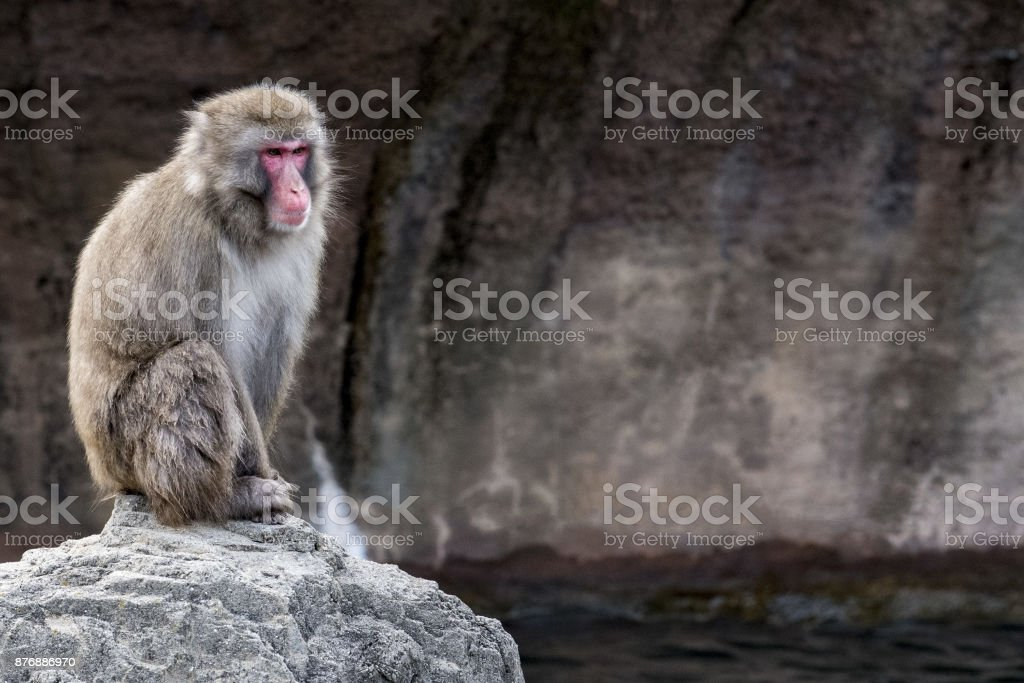 japanese macaque monkey portrait look at you stock photo