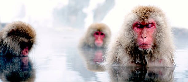Japanese Macaque Napping In An Onsen