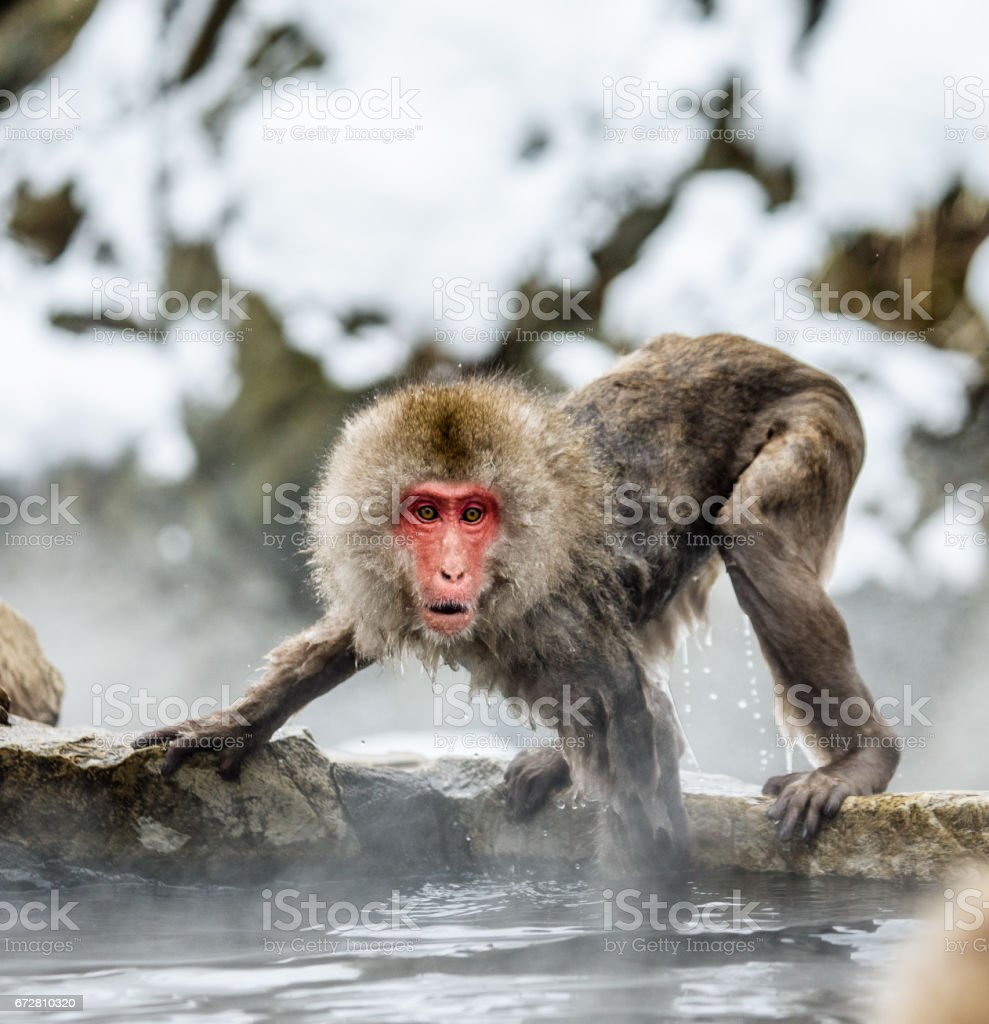 Japanese macaque on the rocks near the hot springs. Japan. Nagano....