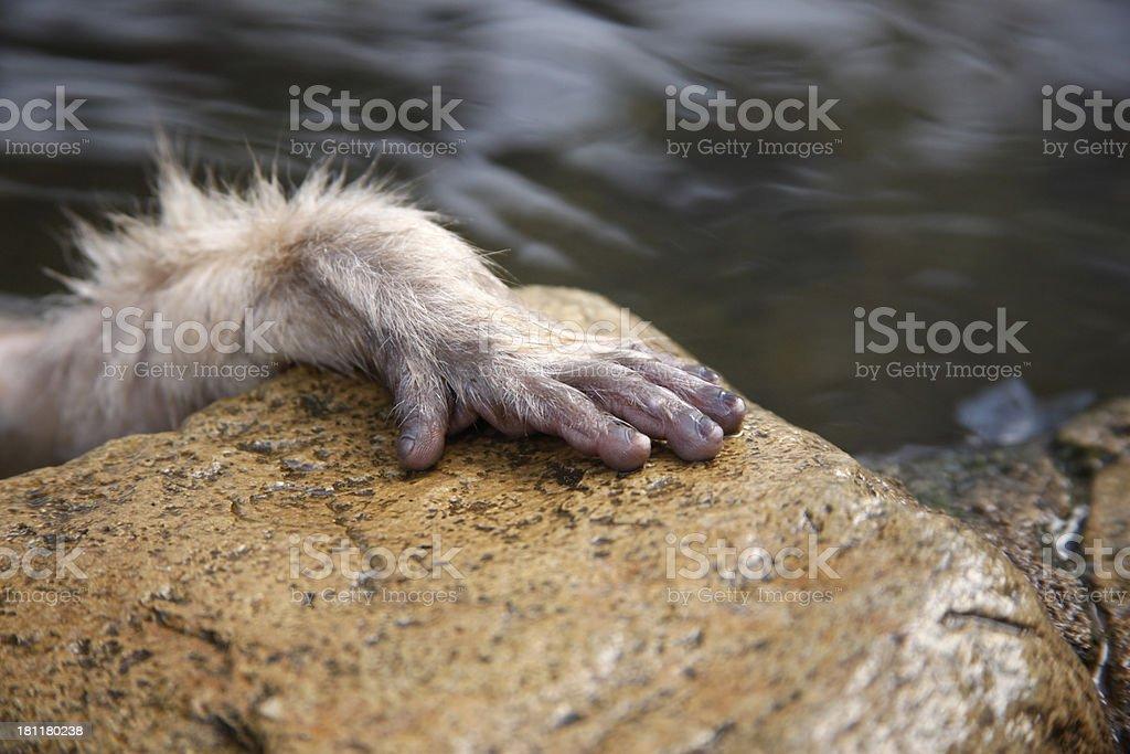 Japanese macaque or snow monkey, Macaca fuscata stock photo