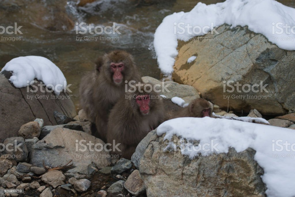 Japanese macaque or snow monkeys, , showing red faces sitting on...