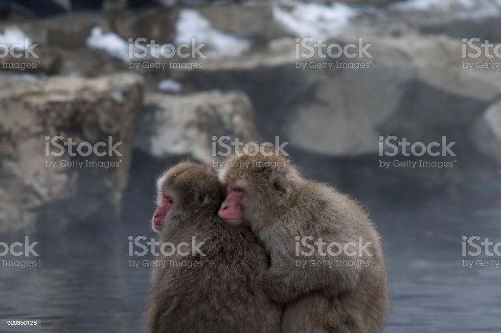 Japanese macaque or snow monkeys, , sitting close together on rock of...