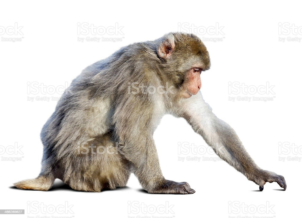 Japanese macaque (Macaca fuscata)  over white stock photo