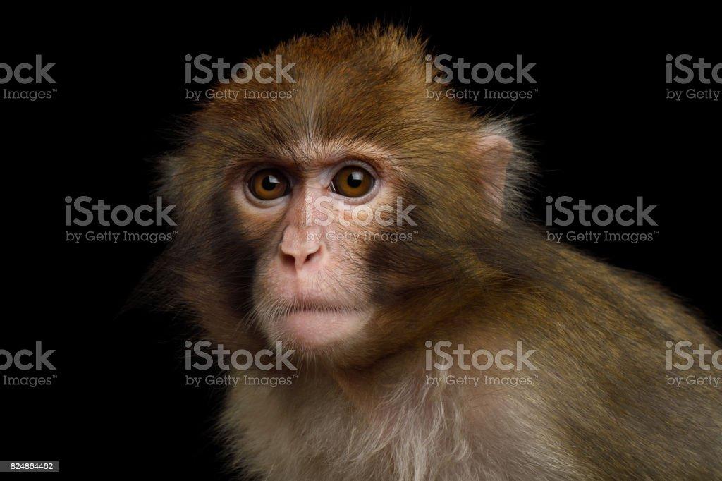 Macaco Japonês foto royalty-free