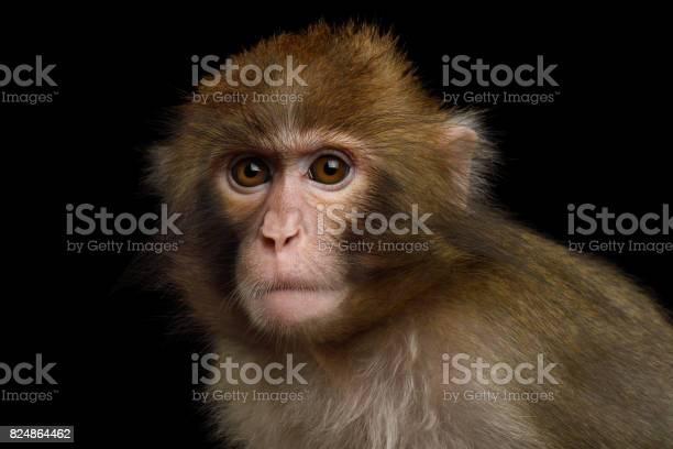 Japanese macaque picture id824864462?b=1&k=6&m=824864462&s=612x612&h=xmzcpjvystt0ypfiqlm4ctcjxn9q7whh 6xvyi0imhq=