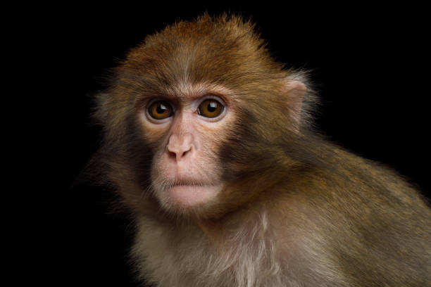 japanese macaque - ape stock pictures, royalty-free photos & images
