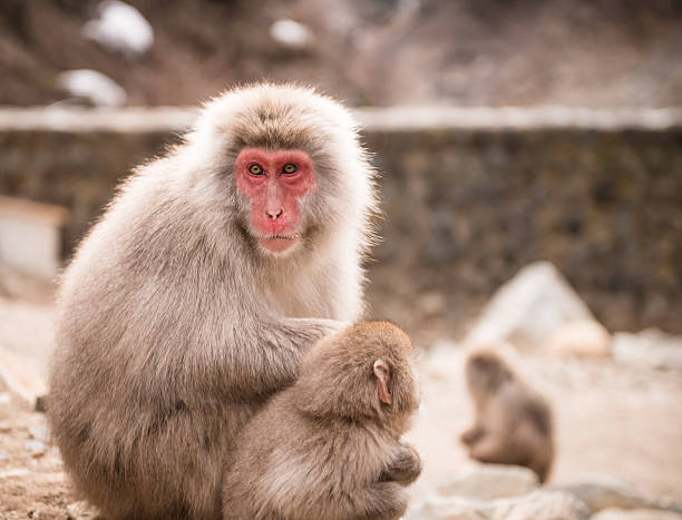 Japanese macaque with baby stock photo