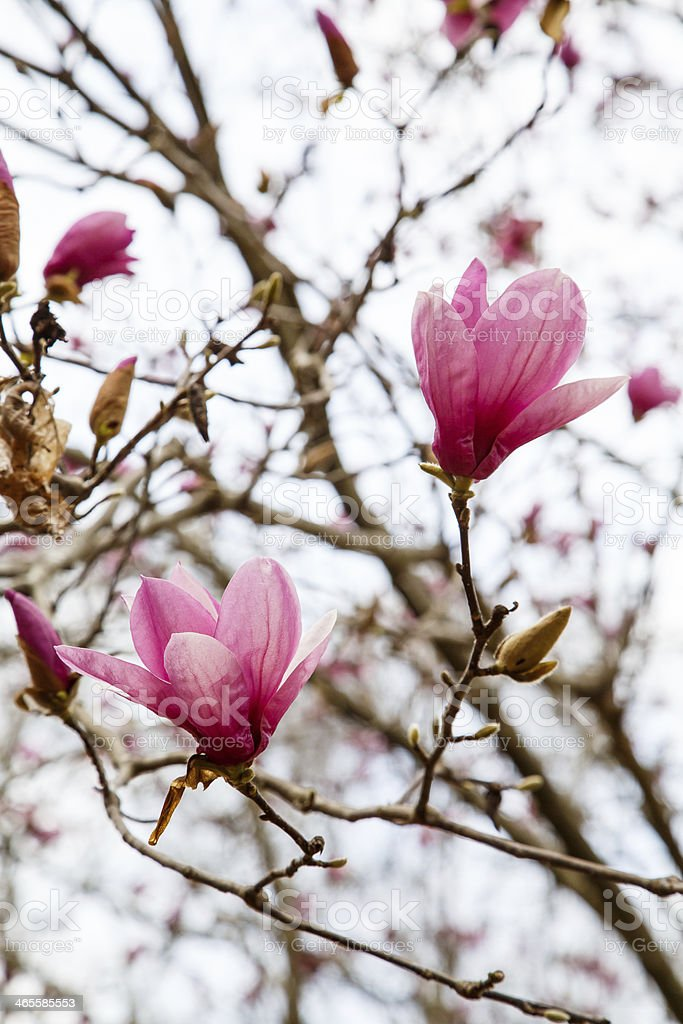 Japanese Magnolia Blooms Against Sky royalty-free stock photo
