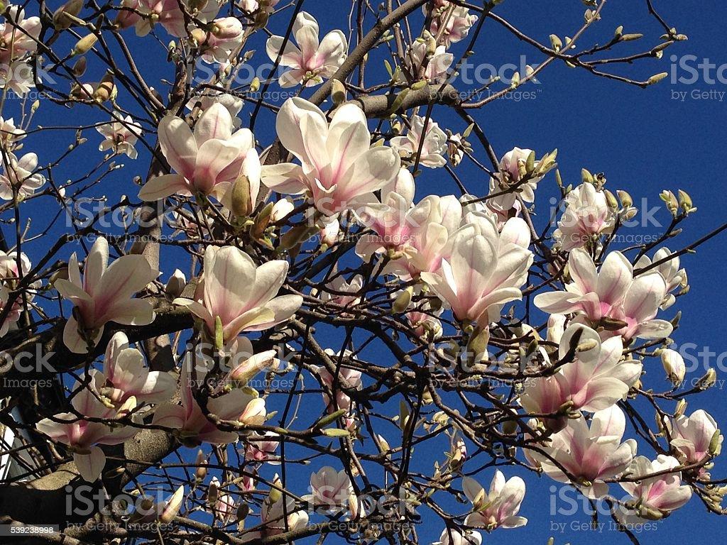 Japanese magnolia spring flowers blue sky background royalty-free stock photo