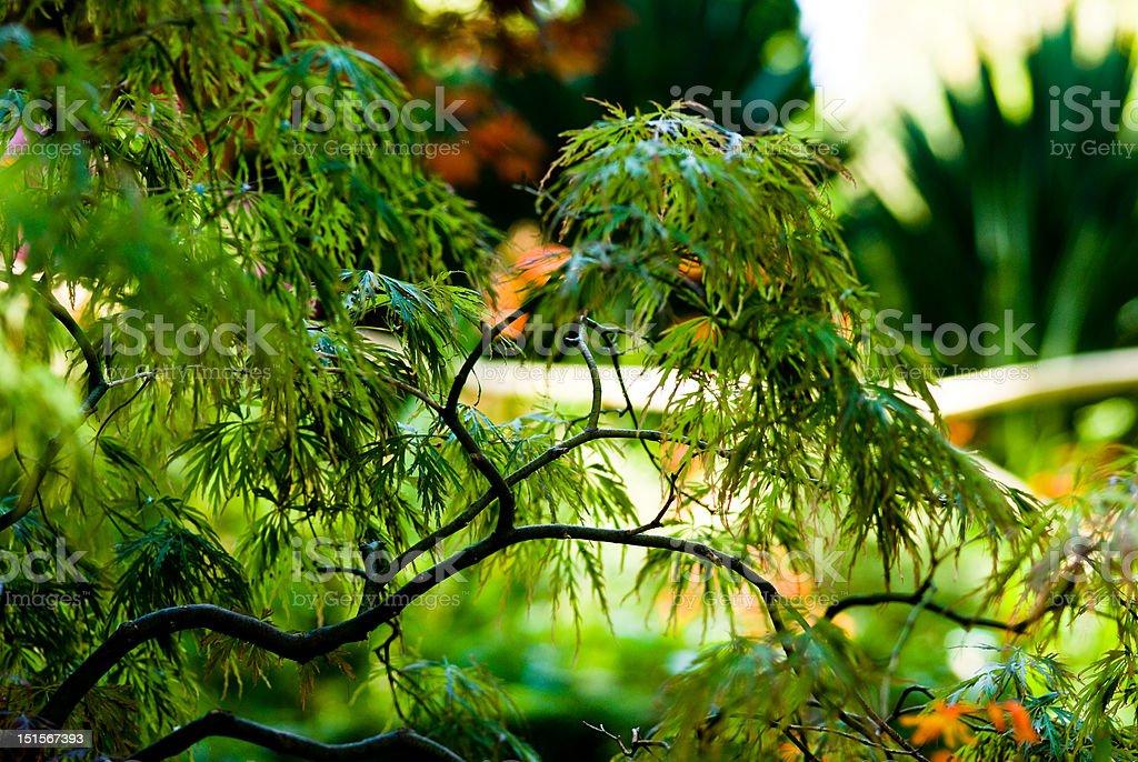 Japanese Maple - Acer Palmatum royalty-free stock photo