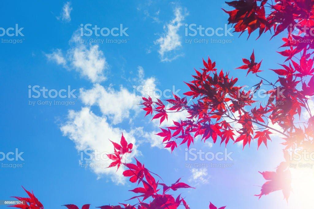 Japanese Maple against Blue sky stock photo