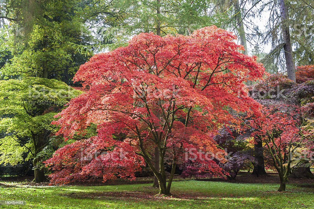 Japanese Maple at Westonbirt Arboretum stock photo