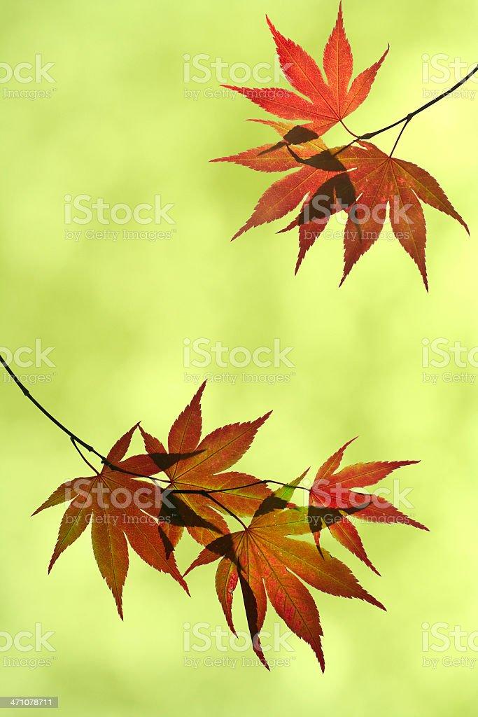 Japanese Maple Background royalty-free stock photo