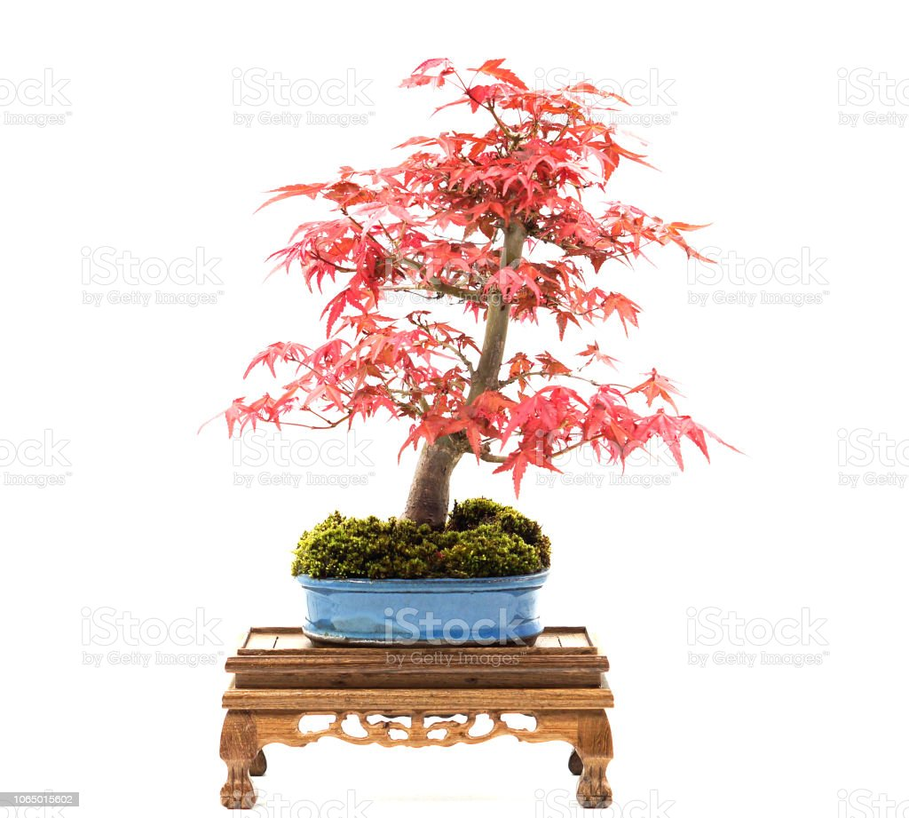 Japanese Maple Bonsai Stock Photo Download Image Now Istock