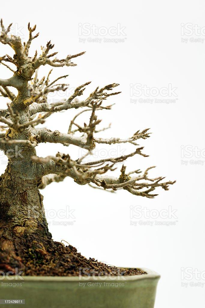 Japanese maple bonsai royalty-free stock photo