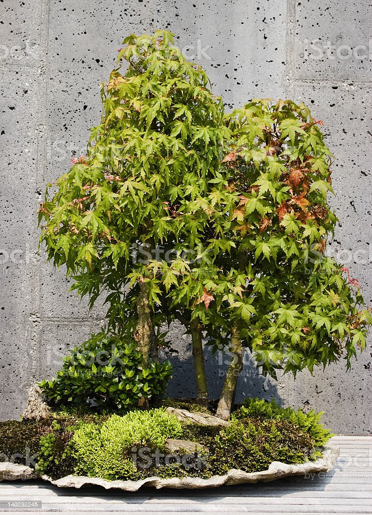 Japanese Maple Bonsai Tree Forest royalty-free stock photo