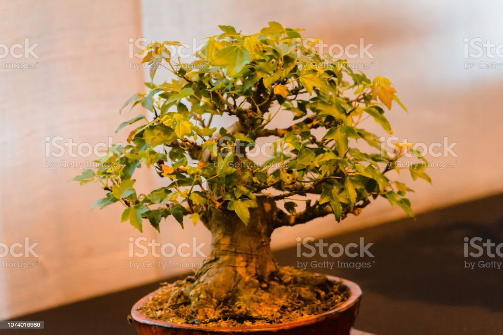 Japanese Maple Bonsai Tree On Display At A Show In Grand Rapids Michigan Stock Photo Download Image Now Istock