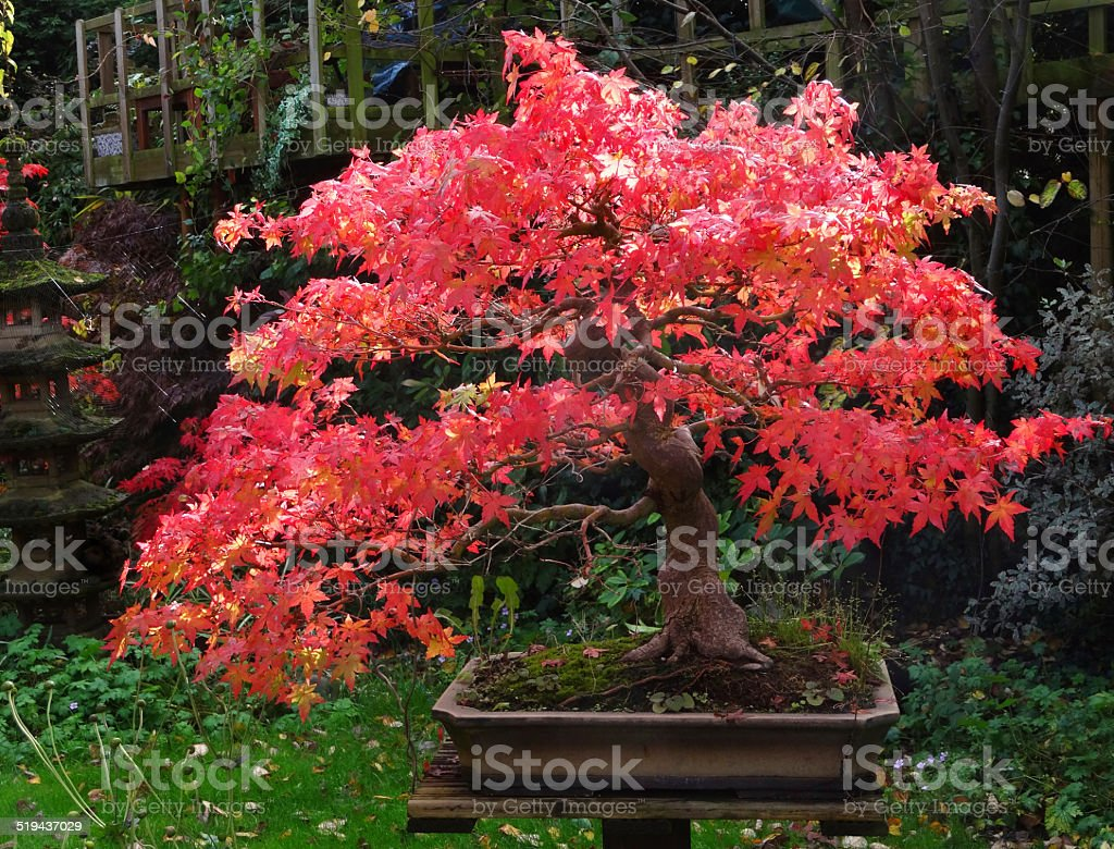 Japanese Maple Bonsai Trees With Red Autumn Leaves Stock Photo Download Image Now Istock