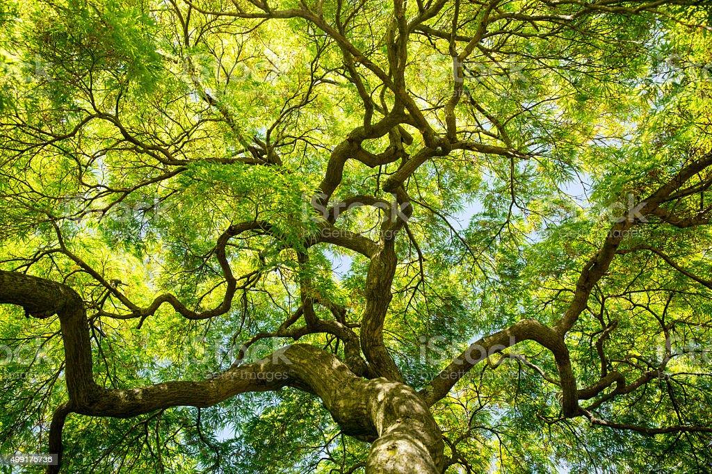 Japanese Maple Canopy stock photo
