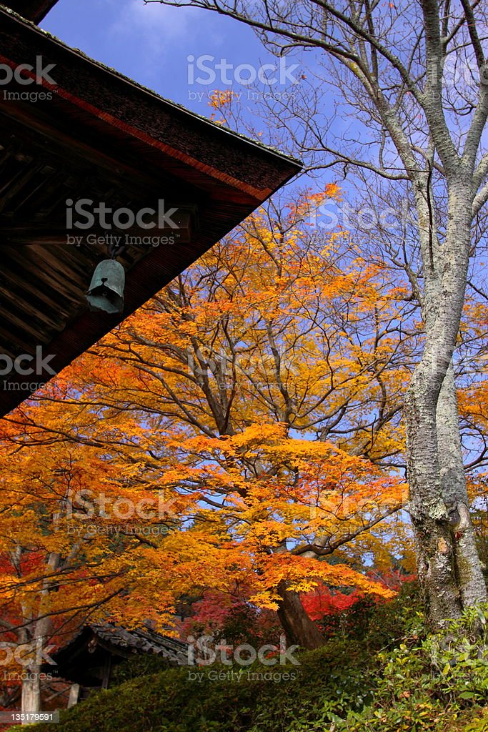 Japanese maple during fall in Kyoto,Japan stock photo
