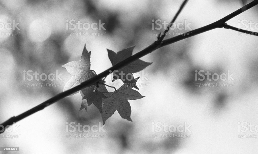Japanese maple in B&W royalty-free stock photo